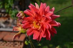 DSC_5979 (aktarian) Tags: rože flower flowers cvetovi cvet cvetenje bloom