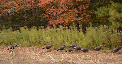 fall in Marinette County (turn off your computer and go outside) Tags: 2015 marinettecounty october wi wisconsin autumn bird blackbirds critter cutcornfield fall flock nature overcastday treeline turkey wildturkeys wildlife