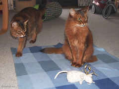My mouse - for Happy Caturday (Finn Frode (DK)) Tags: cats pose blanket mouse toy rags dusharatattersandrags caithlin dusharacathalcaithlin somali somalicat som olympus omdem5 denmark animal pet cat outdoor happycaturday