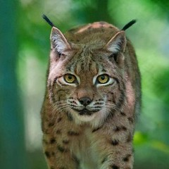 Lynx (Dorestad) Tags: luchs lampaumluft pfoten frontal leise lynx runs feet head quietly