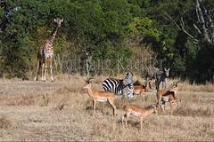10077422 (wolfgangkaehler) Tags: 2016africa african eastafrica eastafrican kenya kenyan masaimara masaimarakenya masaimaranationalreserve wildlife masaigiraffe masaigiraffegiraffacamelopardalis masaigiraffegiraffacamelopardalistippelskirchi giraffe giraffes impalaaepycerosmelampus impalas antelope antelopes zebras plainszebrasequusquagga burchellszebra burchellszebraequusquagga burchellszebras
