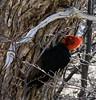 Male Magellanic Woodpecker (Michael St Clair) Tags: lagunadelostres southamerica patagonia argentina elchalten campephilusmagellanicus magellanicwoodpecker woodpecker