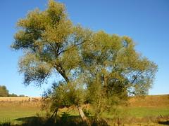 Alte Weide (Jrg Paul Kaspari) Tags: manderscheid eifel vulkaneifel diebergkraterseetour wanderung herbstwanderung herbst autumn fall alteweide baum salix abre tree
