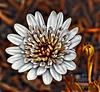 Digital African Daisy (AngelVibeDigital) Tags: digitalafricandaisy nikonp900 colorful blossom art daisies africandaisy photography nikon paintedflowers nature daisy digitalart brown