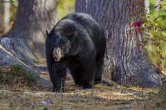 black bear in SW New Hampshire (wandering tattler) Tags: wildlife fauna animal mammal bear carnivore ursa blackbear newhampshire 2016