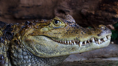 Spectacled Caiman (Marius Sund) Tags: animalia brillekaiman dyr dyrepark krokodilledyr orp oslo reptilpark reptil reptilia animals caiman crocodiles crocodilia crocodilus dyrehage kaiman krypdyr reptile park spectacled zoo
