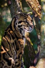 Clouded Leopard (Marius Sund) Tags: neofelis nebulosa leopard felidae