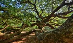 Tangled (ott.geoffrey) Tags: angel oak liveoak branches twisted leaves