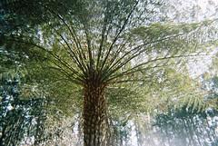 Underneath a tree fern (Matthew Paul Argall) Tags: kodakflash 800speedfilm 800isofilm kodak800 fixedfocus singleusecamera disposablecamera ferntree treefern fern unlimitedphotos plant