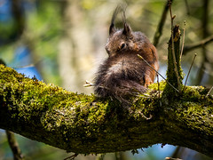 the diabolical squirrel - what is the evil plan in his head? (Florian Grundstein) Tags: eichhrnchen squirrel tree nature wildlife baum moos moss bluesky colouful sunny mft olympus teublitz upperpalatinate oberpfalz grundstein florian diabolic evil cute wallpaper hairy passionphotography
