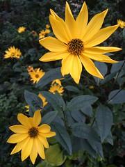 Rudbeckia (markshephard800) Tags: jaune yellow flores flora fiori blumen bloemen fleurs flowers rudbeckia
