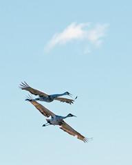Sandhill Cranes (Mark...L) Tags: sandhillcranes horiconmarsh wisconsin