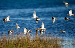 Chevalier gambette Tringa totanus - Common Redshank   _MEL4902 (cedric provost) Tags: france bretagne goulven oiseau bird cedricprovost