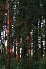 Sonne im Wald (shortscale) Tags: sonnenaufgang wald baum stamm fichte