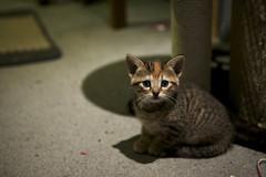Medora (applegathc) Tags: pet toronto ontario cute animal cat kitten feline tabby tortoise shell aww