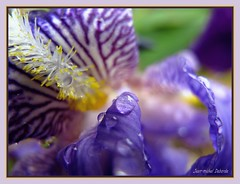 """ Rose de diamants ..."" (jeanmical) Tags: iris france flower nature fleur eau lot perle rose salviac platinumheartaward betterthangood artofimages puechcuret pontcarral"