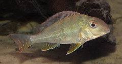 Surinam eartheater (Geophagus altifrons) juvenile (shadowshador) Tags: life fish water america amazon rainforest wildlife south fresh tropical ichthyology biology juvenile animalia surinam freshwater scientific taxonomy classification cichlidae rainforests chordata bilateria deuterostomia craniata vertebrata gnathostomata osteichthyes altifrons actinopterygii neopterygii teleostei eukaryota perciformes eumetazoa geophagus acanthopterygii labroidei eartheater opisthokonta neomura geophaginae holozoa filozoa