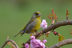 Greenfinch (lesya2014) Tags: ireland garden greenfinch cherrytree