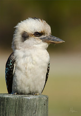 Kooka post 2 (caralan393) Tags: birds post kookaburra