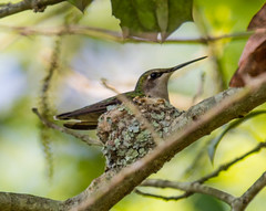Ruby-throated Hummingbird (Laura Erickson) Tags: birds species delaware rubythroatedhummingbird archilochuscolubris trochilidae apodiformes thompsonislandnaturepreserve