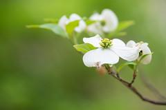Dogwood Blossoms (MichellePhotos2) Tags: park white flower macro tree green garden spring flora nikon blossom michigan blossoms frederikmeijergardens fmg dogwood westmichigan 150mm frederikmeijergardensandsculpturepark d800e nikond800e