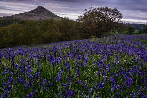 Bluebells At Roseberry Topping