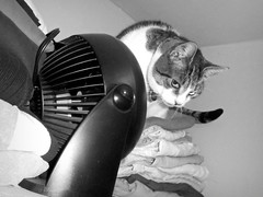 so that's where the cat is hiding! (Robert S. Photography) Tags: bw cats monochrome closet climb fan clothes bela
