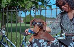 Wilbur ready for a bike ride (Conny66) Tags: leica dachshund miniaturedachshund doggles leitz kodakportra400 leicacl chocolateandtan nikonsupercoolscan4000 leicasummicron40mm