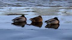 Three ducks, Chiswick. (Scott Mundy) Tags: uk sleeping england 3 london film wet thames analog canon river three duck riverside britain ducks mallard resting asleep riverthames pontoon mallards eos300