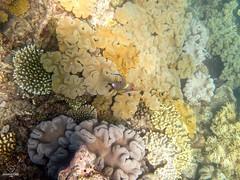 W-IMG_2771 (baroudeuses_voyage) Tags: ocean sea coral oz australia diving snorkeling cairns reef greatbarrierreef cay eastcoast australie atoll gbr michaelmascay oceanspirit grandebarrieredecorail