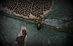 bug (dustaway) Tags: nature bug leaf rainforest australia nsw nymph lamina rotarypark lismore leafbug insecta heteroptera northernrivers australianinsects skeletonisedleaf