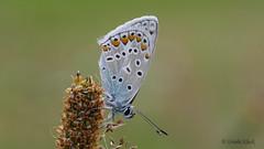 Hauhechel-Bläuling (Oerliuschi) Tags: butterfly natur panasonic makroaufnahme falter schärfentiefe baggersee lycaenidae bläuling gewässer fluginsekt olympusm60 lumixgx8