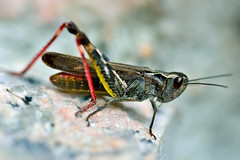 MRC_4129 (Obsies) Tags: saltamontes grasshopper insect insectos d4s microaf200mmf4