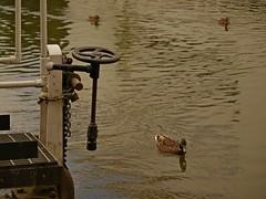 1295-12L (Lozarithm) Tags: aylesbury bucks canals guc ducks pentaxzoom k1 28105 hdpdfa28105mmf3556eddcwr