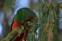 Female King Parrot (Luke6876) Tags: kingparrot parrot bird animal wildlife australianwildlife