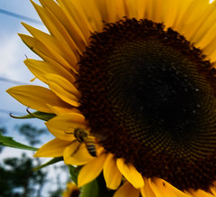Sunflower Exploration (irvingwhitney) Tags: sunflower bees northfork long island a6000 sony sonya600 alpha6000 summer summertime