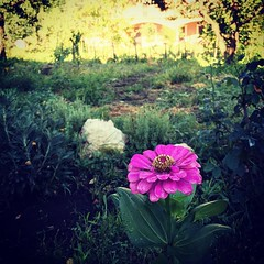 A Lone Zinnia #flowers #plants #garden #nature #outdoors #sicily #italy #zinnia l (dewelch) Tags: ifttt instagram a lone zinnia flowers plants garden nature outdoors sicily italy l