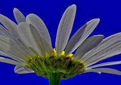 Flipper (oybay) Tags: flower flora fiori blumen blue white yellow utah bright photo border outdoor daisy whiteflower loganutah logan macro upcloseandpersonal underneath under lookingup lighting shadow underbelly photoshop plant