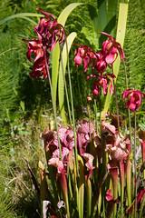 Pitcher Plants (San Francisco Gal) Tags: pitcherplant sarracenia carnivorous plant flower blooming fern mcbg mendocinocoastbotanicalgarden