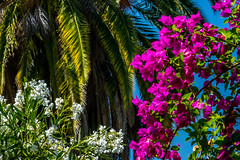 Bougainvillea, Oleander and Palm (randyherring) Tags: bloomingflower bougainvillea palm sanjose california oleander ca nature flower afternoon tree palmfrond bloom plant flora outdoor