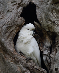 Twisted Tree and resident (tree.twisted) Tags: twistedtree treehollow nature sulphurcrestedcockatoo cockatoo birds birdportrait wildandfree canberra 2016 canon400mmf56lusm