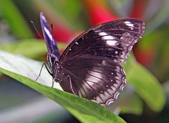 Changi Butterfly Garden, Changi Airport Singapore . In explore (Uhlenhorst) Tags: 2015 singapore singapur animals tiere reisen travel