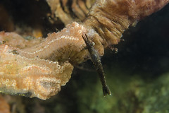 Resto (Praunus flexuosus) (Arne Kuilman) Tags: zeeland duiken diving scubadiving underwater onderwater nederland netherlands macro 60mm d7000 diopter 3 closeup animals life ikelite nikon aasgarnaal praunusflexuosus