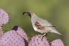 Gamble's Quail on Purple Pricklypear (www.studebakerstudio.com) Tags: gambles quail purple pricklypear bird animal wildlife nature gamebird studebaker arizona tucson greenvalley