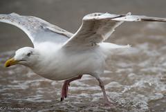 Common Gull - Larus canus (Andy Pandy Pooh) Tags: laruscanus commongull mudefordspit mudeford mudefordsandspit mudefordquay hengistburyhead christchurch bird gull sea