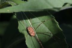 Faucheux Phalangium opilio (1) (pierre.verdiere) Tags: arachnide