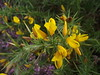 Ulex gallii (Western Gorse) close-up, Walberswick Common, Suffolk, 5.9.16. (respect_all_plants) Tags: westerngorse ulexgallii walberswick walberswickcommon suffolk wildflowers