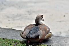 Ouette d'Egypte (Mystycat =^..^=) Tags: ouette ouettedegypte oiseau bird parcbordelais france bordeaux gironde aquitaine oie
