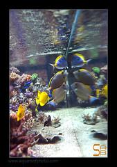 ALAIN2poissons6611 (kactusficus) Tags: marine reef aquarium alain captive ecosystem rcifal acanthuridae chirurgien surgeonfish tang zebrasoma flavescens yellow