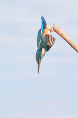 Kingfisher .... 'I'm not sure about this!' 2/3. (DP the snapper) Tags: kingfisher birds uptonwarren diving